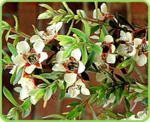 Масло чайного дерева - применение в косметологии