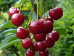 Вишня польза и вред — чем полезна кисло-сладкая ягода детям и взрослым